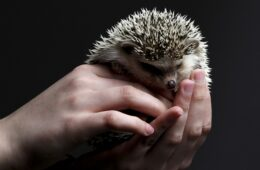 5 Reasons to Adopt a Hedgehog