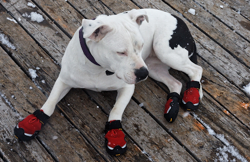 puppy with red booties / doggie shoes